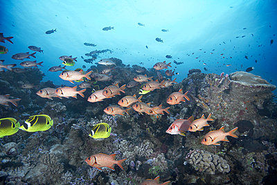 School of squirrelfish swimming in coral - p42915582 by Zac Macaulay
