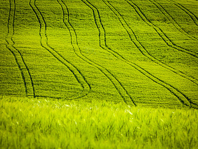 Tractor's tracks in the cornfield near Pienza - p968m987187 by roberto pastrovicchio