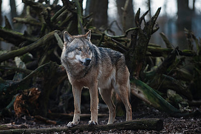 Europäischer Wolf - p1046m1045308 von Moritz Küstner