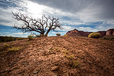 Dead tree of Capitol Reef National Park - p1057m1466795 by Stephen Shepherd