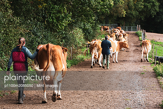Young woman driving herd of Guernsey cows along a rural road.  - p1100m2085050 by Mint Images
