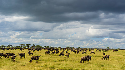 Wildebeest grazing in savannah, Serengeti National Park, NgorongoroDistrict, Tanzania - p1424m2046694 by Cavan Images