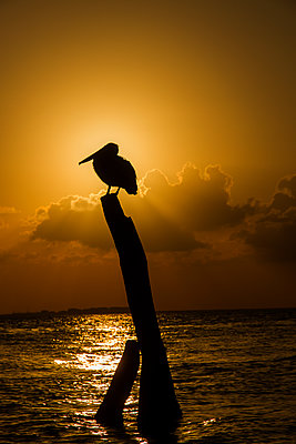Pelican on wooden stake at sunset - p758m1154860 by L. Ajtay