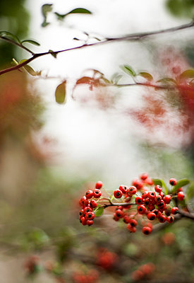 Rowan berries - p971m947638 by Reilika Landen