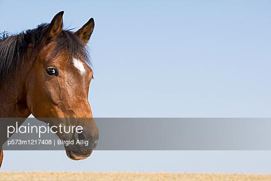 Pferdeportrait - p573m1217408 von Birgid Allig
