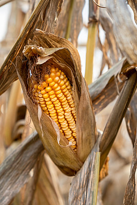 United States, Virginia, Corn in autumn - p1427m2271771 by Jeff Greenough