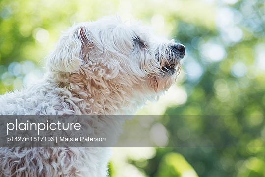 plainpicture | Photo library for authentic images - plainpicture p1427m1517193 - White dog smelling air - plainpicture/Tetra Images/Maisie Paterson