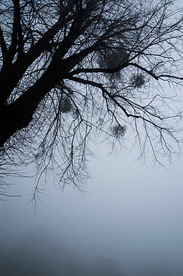 Tree with mistletoe surrounded by mist - p1047m967967 by Sally Mundy