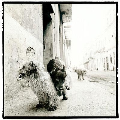 Havanna, Kuba, Hunde auf der Straße - p2682074 von Oliver Tamagnini