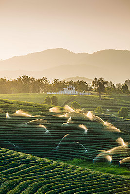 Choui Fong Tea Plantation, Mae Chan, Chiang Rai, Thailand. - p651m2006849 by Marco Bottigelli