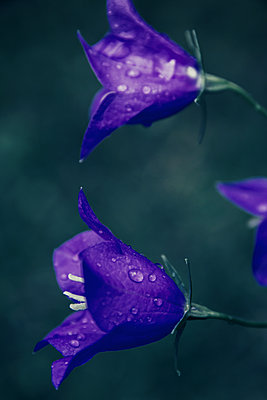 Campanula flowers - p879m2133672 by nico