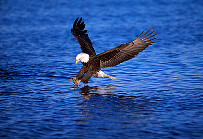 Bald Eagle catching a fish - p4422929f by Design Pics