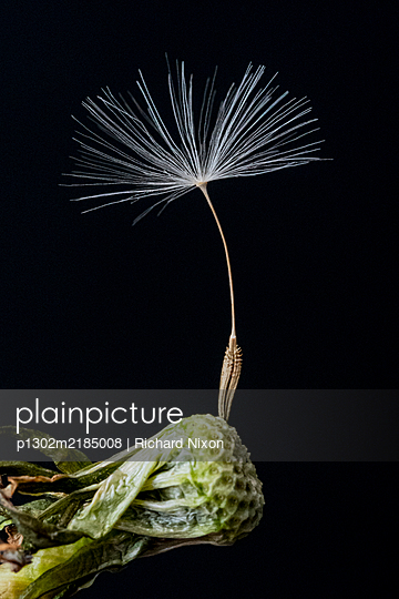 Single Dandelion seed attached to stalk - p1302m2185008 by Richard Nixon