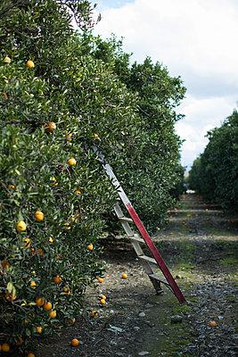 Harvest in orange plantation - p1134m1440776 by Pia Grimbühler