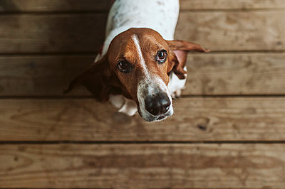 Above image of Basset hound dog standing on deck looking up - p1166m2148804 by Cavan Images