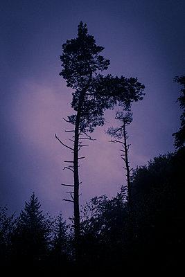 Pine - p1199m2143112 by Claudia Jestremski