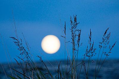 Silhouettes of grass, full moon on background - p312m1192708 by Peter Lyden