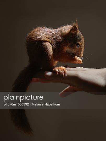 Eichhörnchen auf der Hand - p1376m1588932 von Melanie Haberkorn