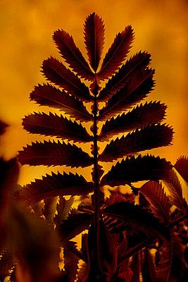 Honey Bush leaf (Melianthus major) - p1028m2230444 by Jean Marmeisse