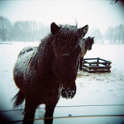 Pferde im Schnee - p1197m995463 von Stefan Bungert