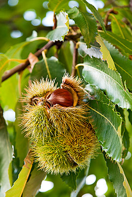 Sweet chestnut - p1205m1106477 by Toni Anzenberger & Christina Anzenberger-Fink