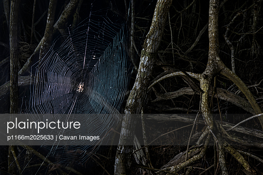 Close-up of spider weaving web amidst branches in forest at Everglades National Park during night - p1166m2025633 by Cavan Images