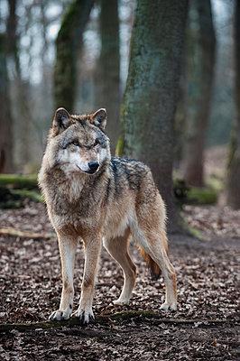 Europäischer Wolf - p1046m1045310 von Moritz Küstner