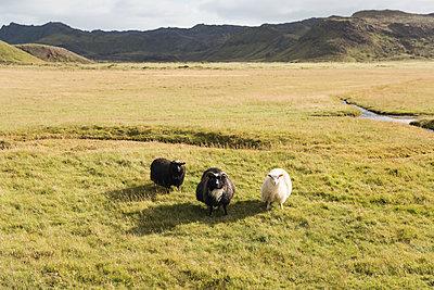 Three sheeps - p1477m1586398 by rainandsalt