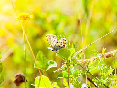 Close up of common blue butterfly on leaf - p429m1156317 by Henglein and Steets