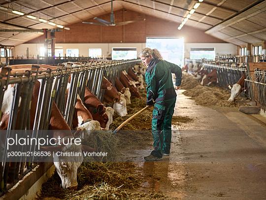 Imagebilder (mit Release) Landwirtin, Bäuerin, Stallarbeiterin verteil Heu für die Fütterung der Kühe mit Heugabel im Stall, Vomp, Tirol, Europa - p300m2166536 von Christian Vorhofer
