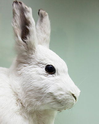 Bunny - p1214m1116226 by Janusz Beck