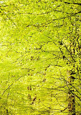 Beech wood and wood anemones in spring Skane Sweden. - p31220931f by Susanne Kronholm
