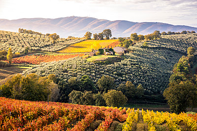 Sagrantino vineyards during autumn, Montefalco, Perugia province, Umbria, Italy - p651m2085154 by Stefano Termanini