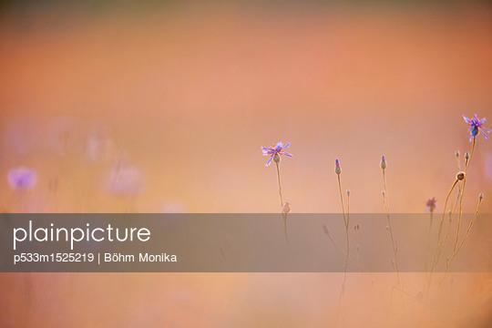 Kornblumen im Sonnenuntergang - p533m1525219 von Böhm Monika