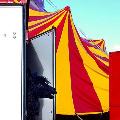 Lama and circus tent - p813m903902 by B.Jaubert