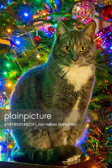 Cat posing by Christmas tree - p1418m2145219 by Jan Håkan Dahlström