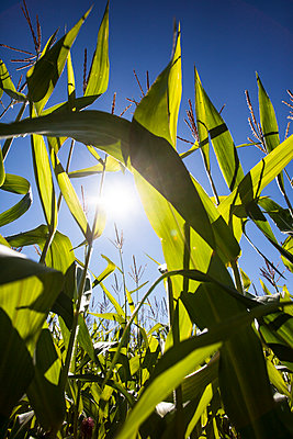 Looking through green leaves of corn plants  - p1057m2008297 by Stephen Shepherd