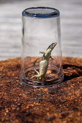 Caught lizard - p1402m2278880 by Jerome Paressant