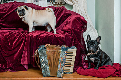 Two lapdogs and sofa with red bedspread - p1437m1502324 by Achim Bunz