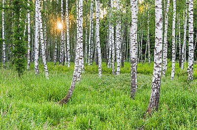 Birch forest - p312m1471453 by Mikael Svensson