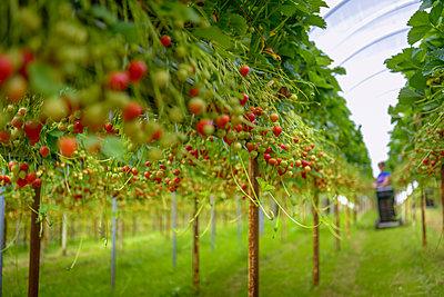 UK, Hereford, Strawberries growing at organic farm - p924m2271275 by Monty Rakusen
