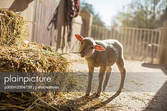 Lamb eating hay on a farm - p300m2004738 von zerocreatives
