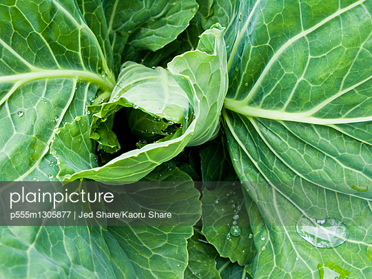 Close up of curling leaves - p555m1305877 by Jed Share/Kaoru Share