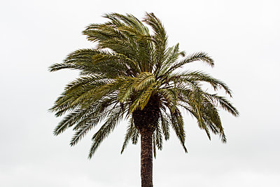 Palm tree in the wind - p1291m1362436 by Marcus Bastel