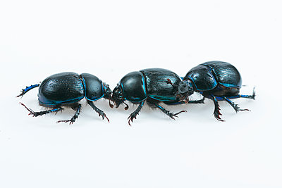 Three dung beetles, Scarabaeiformia - p1437m2052924 by Achim Bunz