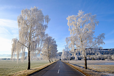 Germany, Bavaria, Sindelsdorf, birch trees covered with hoarfrost at country road - p300m1416661 by Martin Siepmann