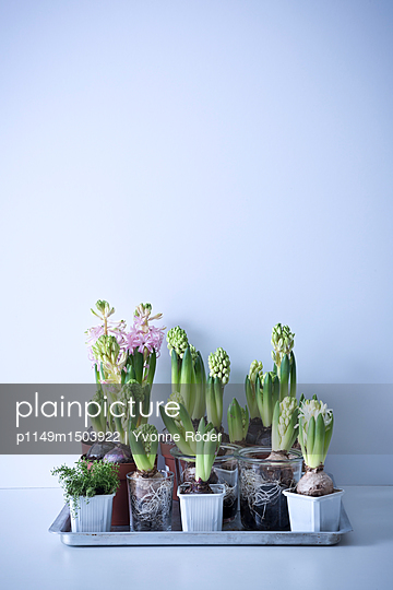 Hyacinths - p1149m1503922 by Yvonne Röder
