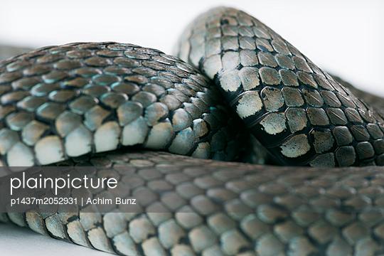 Ringed snake, Natrix natrix - p1437m2052931 by Achim Bunz