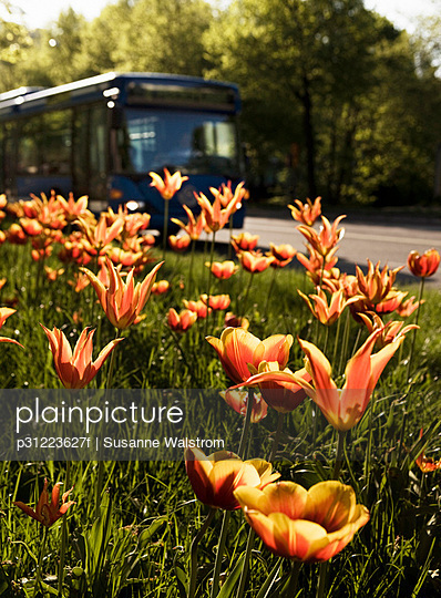 Tulips in the grass by a road