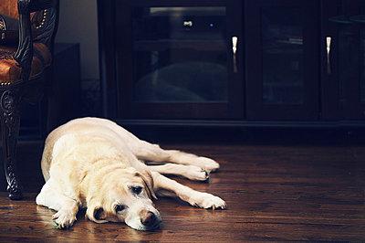 Labrador lying on floor, portrait - p429m824429 by Arundhati Bharati